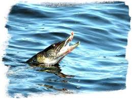 Image result for northern pike fishing pics