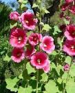 Rose tremiere culture