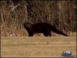 Image result for fisher cat