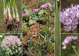 Allium lusitanicum Lam. - Portale sulla flora del Parco Naturale delle ...
