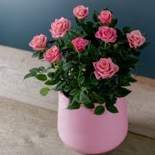 Chic Pink Rose - Next – Flowers and Gift Cards delivered next day