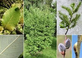 Salix cinerea L. - Esploriamo la flora: un progetto per le scuole