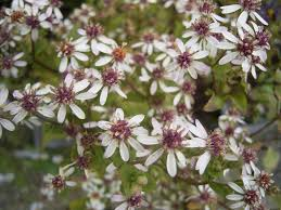 Wood asters