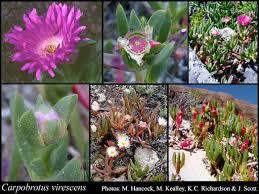 Carpobrotus virescens (Haw.) Schwantes: FloraBase: Flora of ...