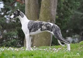 Aπό πού προέρχεται ο σκύλος Whippet;