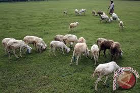 Hasil gambar untuk gambar kambing
