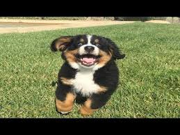 <b>Bernese Mountain</b> Dog Puppies <b>Funny</b> Compilation - Best of 2018 ...