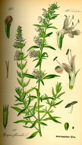 Hyssopus officinalis - Wikipedia