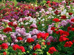 Image result for images of rose garden in chandigarh