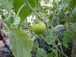 Solanum incanum - Wikipedia