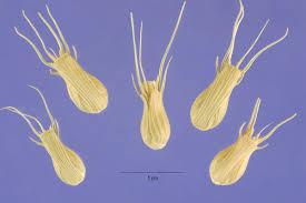 Aegilops ventricosa - Wikipedia, la enciclopedia libre