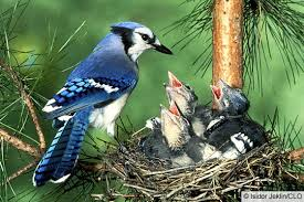 Blue Jay Family - birddirectory.blogspot.com