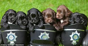 Image result for spaniel puppies meme