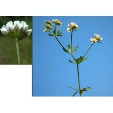 Genere Dorycnium - Flora Italiana