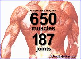 Image result for muscles of the human body