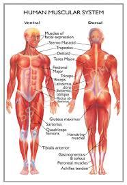 human anatomy diagram   tutorvista comhuman anatomy diagram