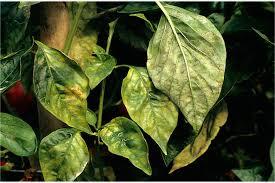 Αποτέλεσμα εικόνας για ασθενειες πιπεριας φωτογραφιες