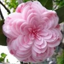 <b>20pcs/bag dahlia flower</b> dahlia seeds, (not dahlia bulbs) bonsai ...