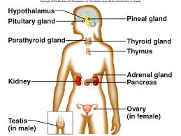 what is endocrine gland   aof comgallery of what is endocrine gland