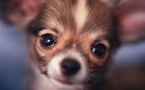 Image result for chihuahua puppies