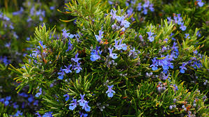 How to Grow Rosemary: A <b>Simple</b> Guide for Indoor & <b>Outdoor</b> ...