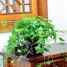<b>free</b> shipping <b>Hot selling</b> 30pcs Hedera Helix Chinese ivy seeds DIY ...