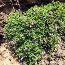 Checklist Flora - Calabria - Genere: Putoria - Sila, Aspromonte ...