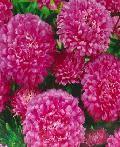 цветок <b>Астра Дарьюшка</b> (карл. королев., сиренево-роз.) цена за ...