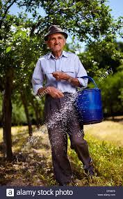 senior farmer doing seasonal work spreading fertilizer in a plum senior farmer doing seasonal work spreading fertilizer in a plum trees orchard