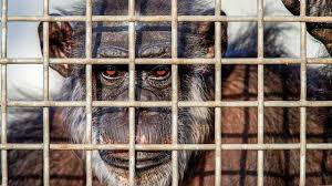 has u s biomedical research on chimpanzees come to an end invasive research projects on chimpanzees must legally come to an end next month unless researchers obtain
