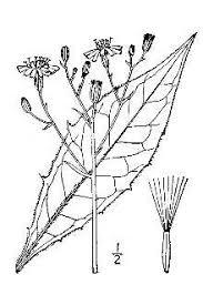 Plants Profile for Hieracium lachenalii (common hawkweed)