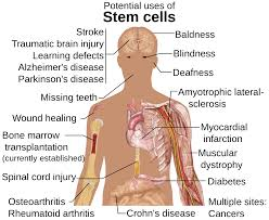importance of stem cells stem cells university of nebraska treatments