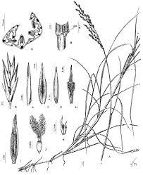 a new rhizomatous species of festuca (poaceae, poeae)