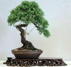 juniper bonsai bonsai tree for office
