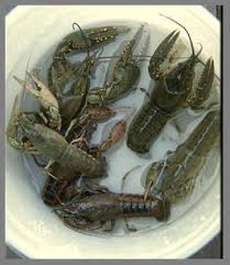 Image result for crayfish farming