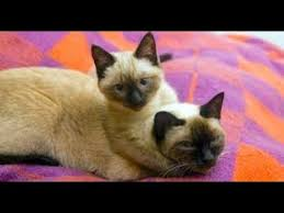 Things you NEVER knew about <b>Siamese cats</b> - YouTube