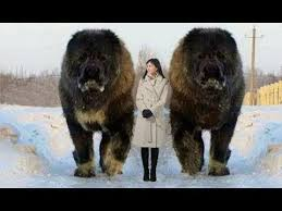 10 Abnormally <b>Large Dogs</b> In The World - YouTube