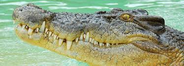 Saltwater <b>Crocodile</b>