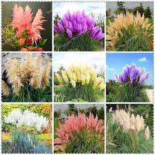 <b>400 pcs</b> / <b>bag</b> Imported <b>Pampas Grass</b> Outdoor Ornamental Plant ...