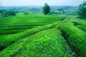 Výsledek obrázku pro coffee plantations