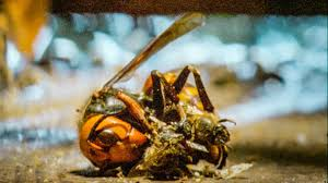 Bees Kill A Giant <b>Hornet</b> With Heat | Buddha Bees and The Giant ...
