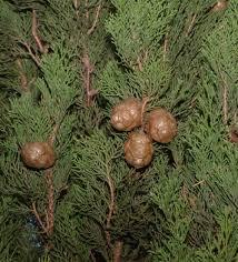 Alla famiglia delle Cupressacee appartengono 113 specie di alberi ...