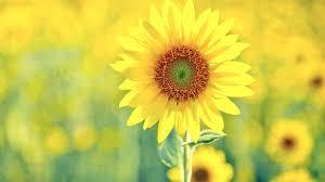 """""""微笑向阳,朵朵盛开""""的图片搜索结果"""