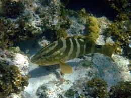 Nassau grouper