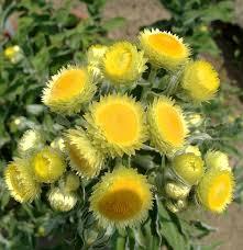 Helichrysum foetidum – Wikipédia, a enciclopédia livre