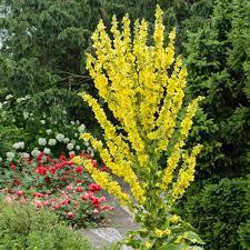 Verbascum olympicum (Mullein)
