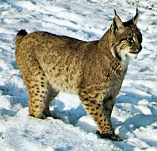 lynx  Canada lynx    Kids Encyclopedia   Children     s Homework Help     Photograph Lynx have large paws that help the animals move through snow