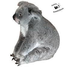 cut out stock png wise koala by momottestocks k cut out stock png 117 wise koala by momotte2stocks