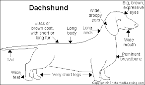 Ποια είναι τα χαρακτηριστικά του Dachshound...