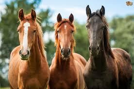 Resultado de imagem para horse evolution
